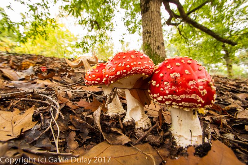 Amanita mushrooms, Mt Loft Botanic Gardens